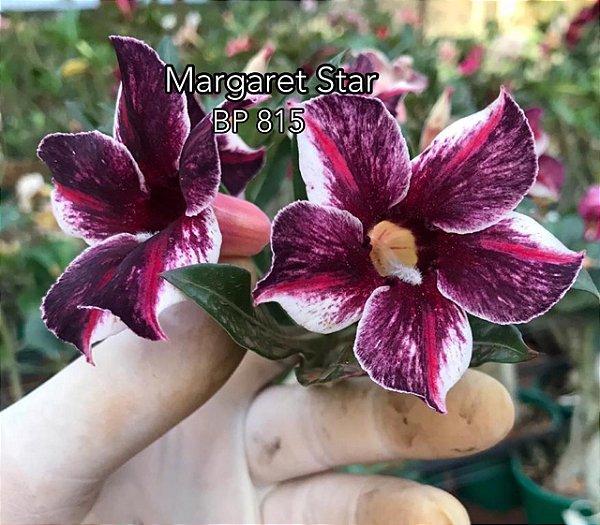 Enxerto de uma cor com flor simples BP 815 (Margaret Star) - Importada