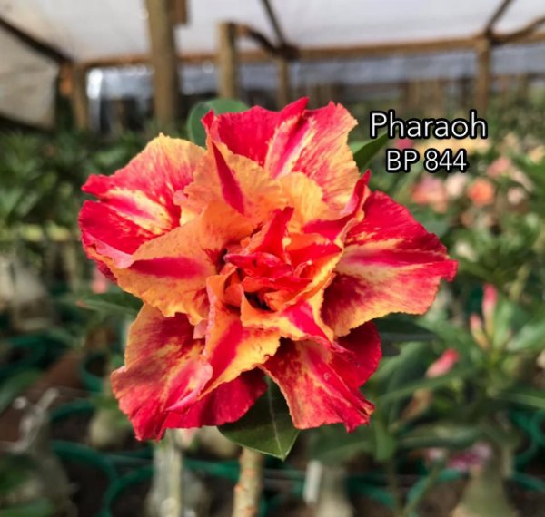 Enxerto de uma cor com flor tripla BP 844 (Pharaoh) - Importada