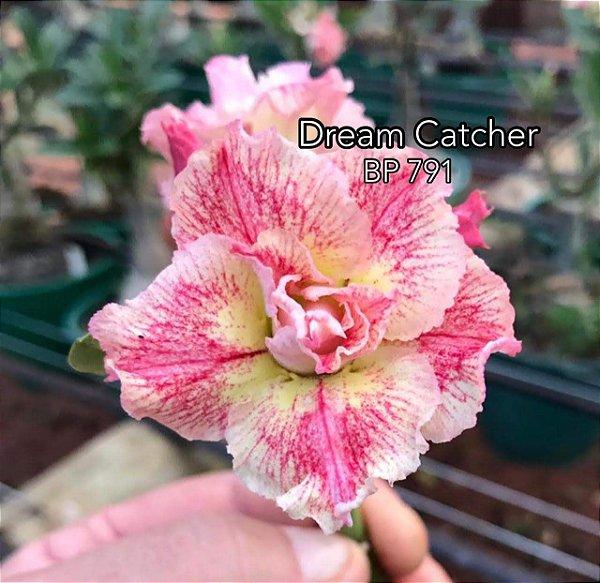 Enxerto de uma cor com flor dobrada BP 791 (Dream Catcher) - Importada