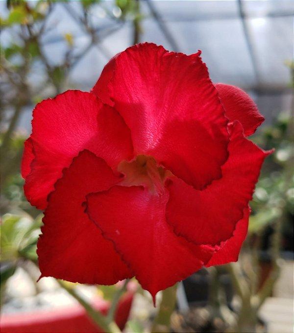 Planta adulta de Rosa do Deserto de enxerto com flor simples na cor Vermelha
