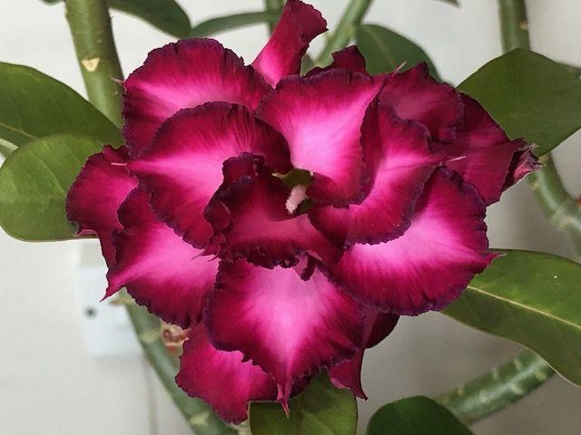 Planta adulta de Rosa do Deserto de enxerto com flor tripla na cor Roxa