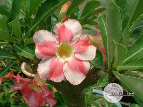 Flor Simples - Kit com 3 sementes - Beauty Cloud 2 - Mr. Ko