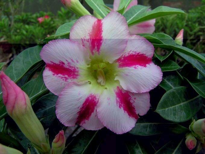 Flor Simples - Kit com 3 sementes - Fragrant Delight - Mr. Ko