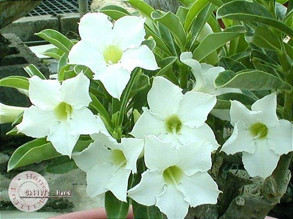 Flor Simples - Kit com 3 sementes - Fragrant Star - Mr. Ko