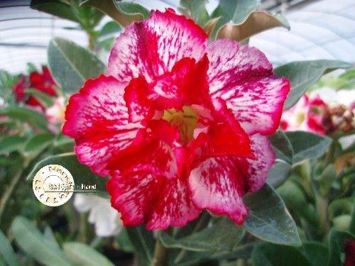 Flor Dobrada - Kit com 3 sementes - KO27 - Mr. Ko