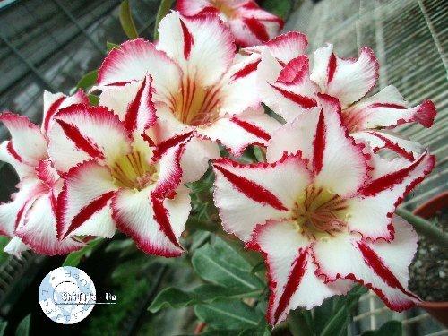 Flor Simples - Kit com 3 sementes - KO38 - Mr. Ko