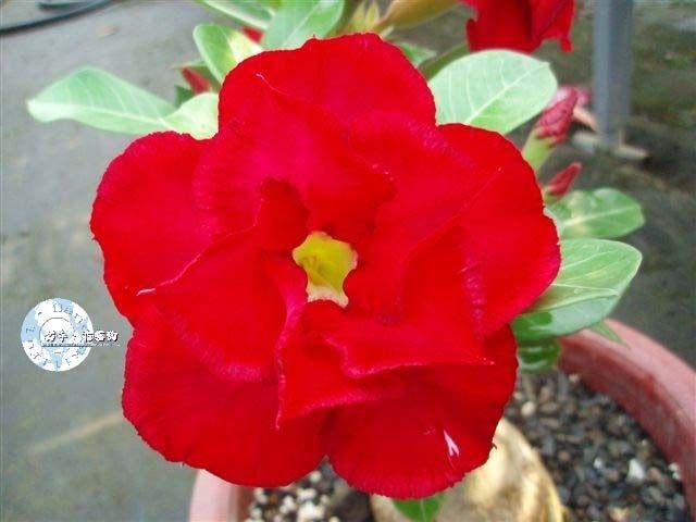 Flor Dobrada - Kit com 3 sementes - KO45 - Mr. Ko