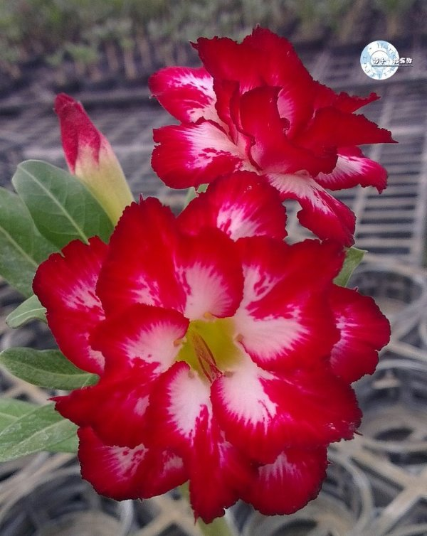 Flor Dobrada - Kit com 3 sementes - KO52 - Mr. Ko