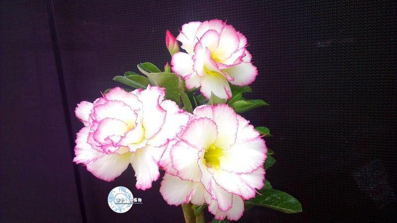 Flor Dobrada - Kit com 3 sementes - KO68 - Mr. Ko