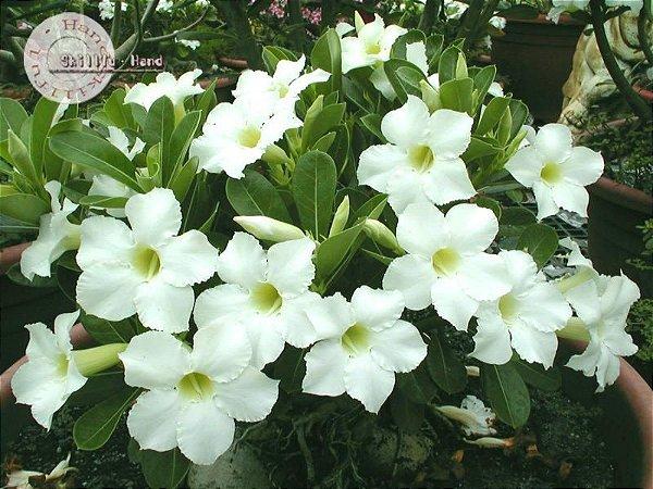 Flor Simples - Kit com 3 sementes - Super Platinum - Mr. Ko