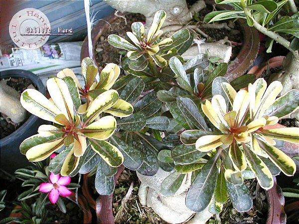 Flor Simples - Kit com 3 sementes - Super Yellow Maple Leaf Variegata - Mr. Ko