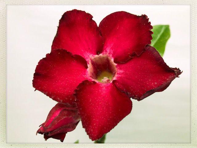 Muda Rosa do Deserto de semente com flor simples na cor Vermelha