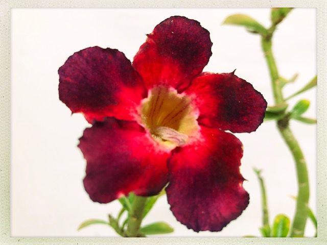Muda Rosa do Deserto de semente com flor simples na cor Vermelha e Uva