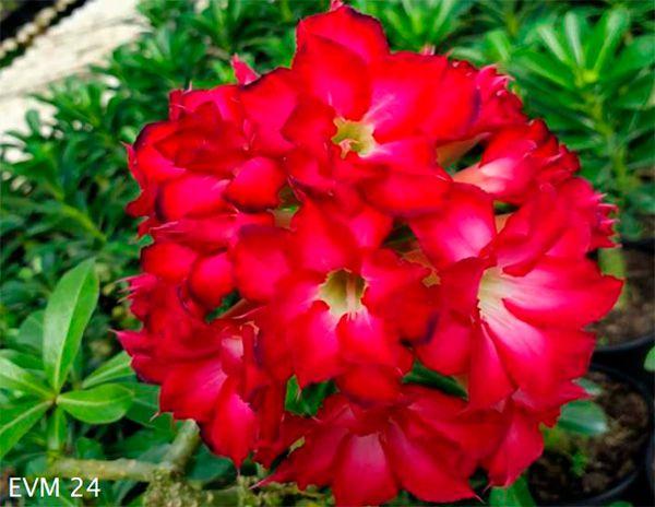 Muda Rosa do Deserto de enxerto com flor dobrada na cor Rosa - EVM24 - Bouquet