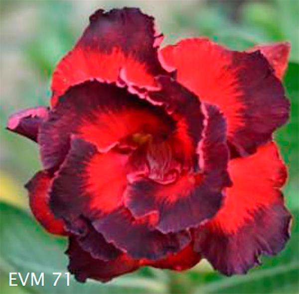 Muda Rosa do Deserto de enxerto com flor dobrada na cor Matizada - EVM71