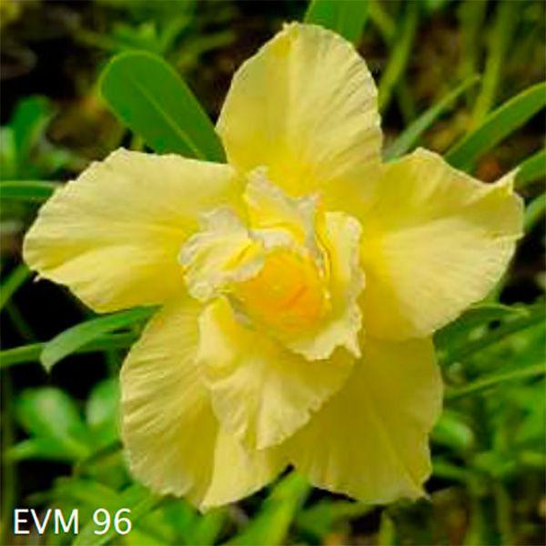 Muda Rosa do Deserto de enxerto com flor dobrada na cor Amarela - EVM96