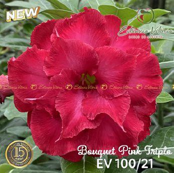 Muda Rosa do Deserto de enxerto com flor tripla Bouquet na cor Pink - EV100/21 Bouquet Pink Tripla
