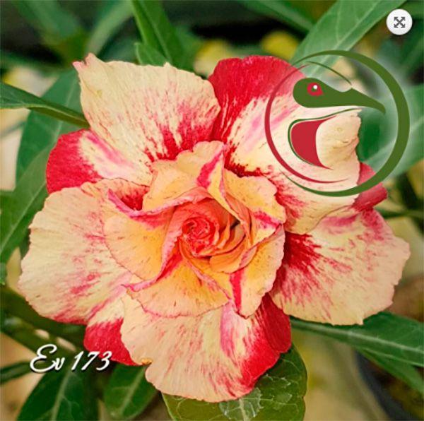Muda Rosa do Deserto de enxerto com flor dobrada / tripla na cor Matizada - EV173