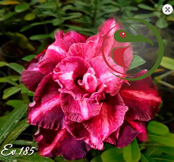 Muda Rosa do Deserto de enxerto com flor tripla na cor Matizada - EV185