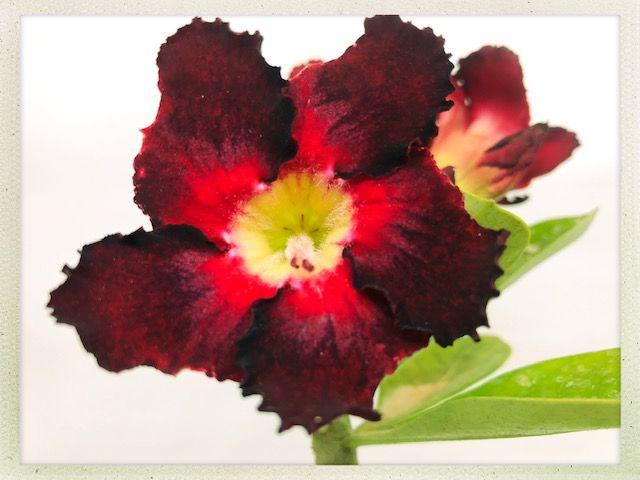 Muda Rosa do Deserto de semente com flor simples na cor Vermelha com Negra