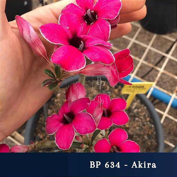 Enxerto de uma cor com flor simples BP 634 Akira - Importada