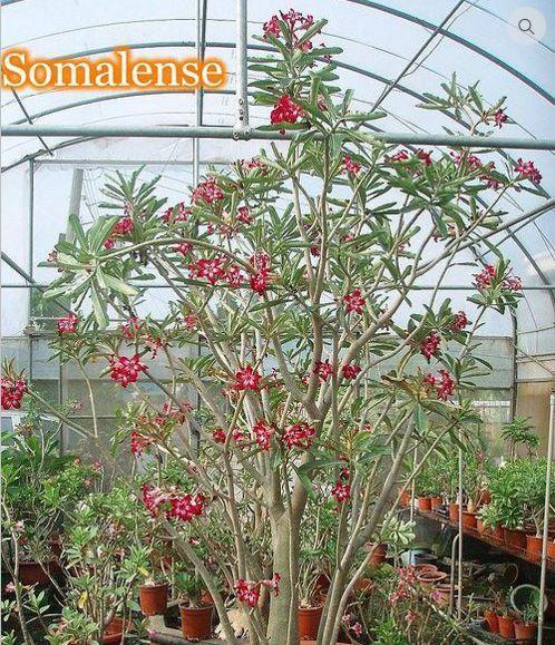 Adenium Somalense - Kit com 100 sementes - Saigon Adenium