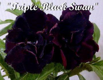 Mix com 3 sementes de flor tripla - Black Swan
