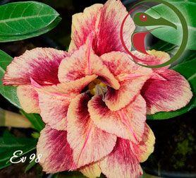 Muda Rosa do Deserto de enxerto com flor dobrada na cor Matizada - EV98
