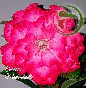 Muda Rosa do Deserto de enxerto com dobrada  na cor Rosa - EV102