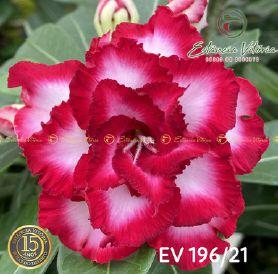 Muda Rosa do Deserto de enxerto com flor tripla na cor Rosa e Branca - EV196/21