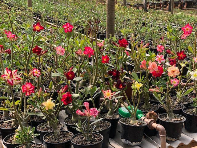 Kit com 100 mudas de Rosa do Deserto de sementes (SaiGon) com flores simples, dobradas e triplas. Cores variadas.