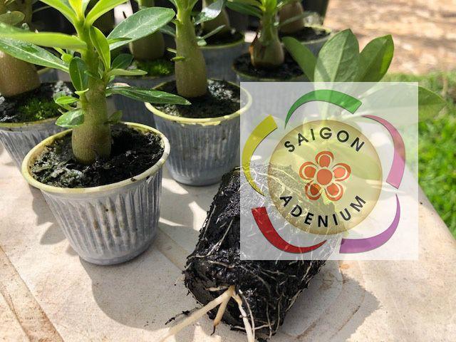 KIT com 10 mudinhas de Rosa do Deserto de 8 a 12 cm. Cores variadas.
