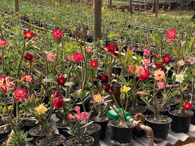 Kit com 10 mudas de Rosa do Deserto de sementes (SaiGon) com flores simples e dobradas. Cores variadas.