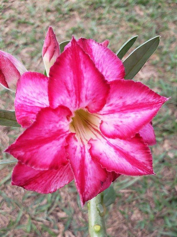 Muda Rosa do Deserto de semente com flor Dobrada Matizada