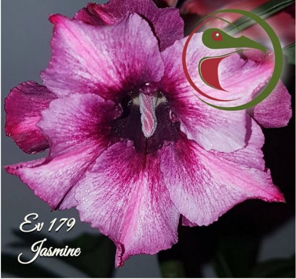 Muda Rosa do Deserto de enxerto com flor dobrada na cor Matizada - EV179