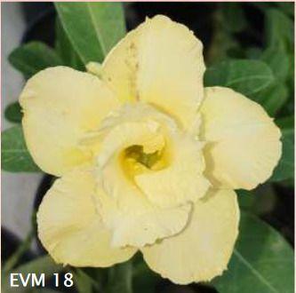 Muda Rosa do Deserto de enxerto com flor dobrada na cor amarela - EVM18