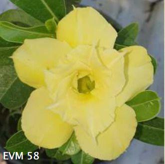 Muda Rosa do Deserto de enxerto com flor dobrada na cor amarela - EVM58