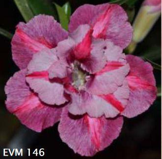 Muda Rosa do Deserto de enxerto com flor dobrada na cor matizada - EVM146