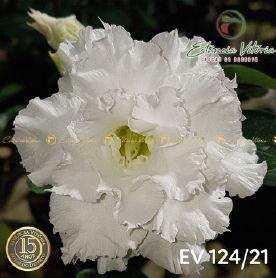Muda Rosa do Deserto de enxerto com flor tripla na cor Branca - EV124/21