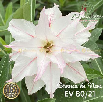 Muda Rosa do Deserto de enxerto com flor dobrada na cor Branca Matizada - EV80/21Branca de neve