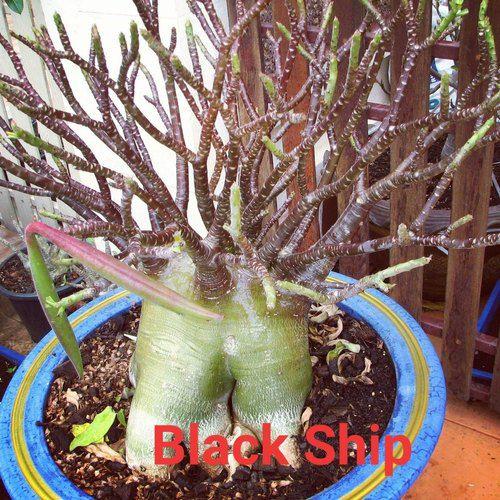 Sementes Raras - Black Ship - Kit com 2 sementes