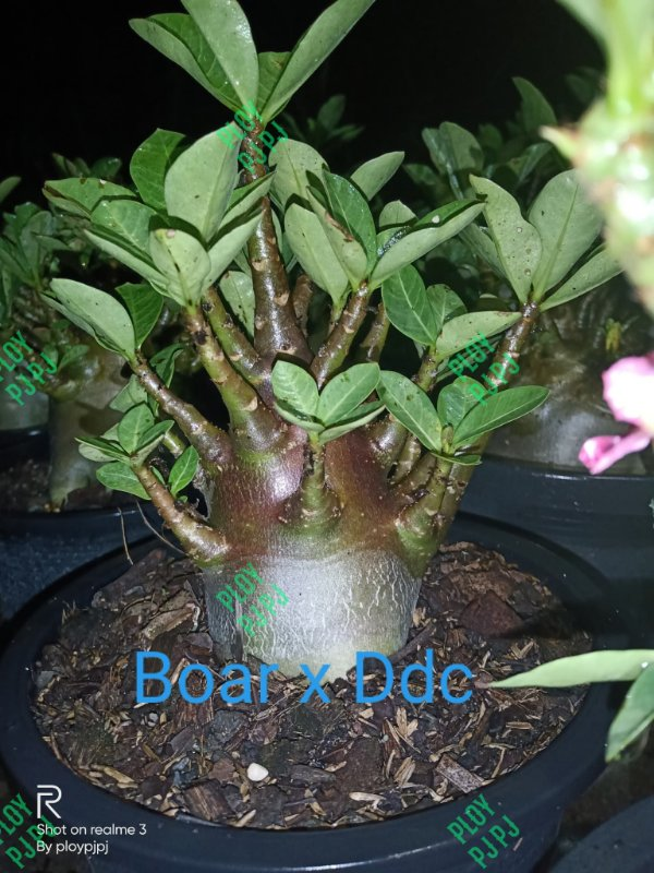Sementes Raras - Boar x DDC - Kit com 2 sementes