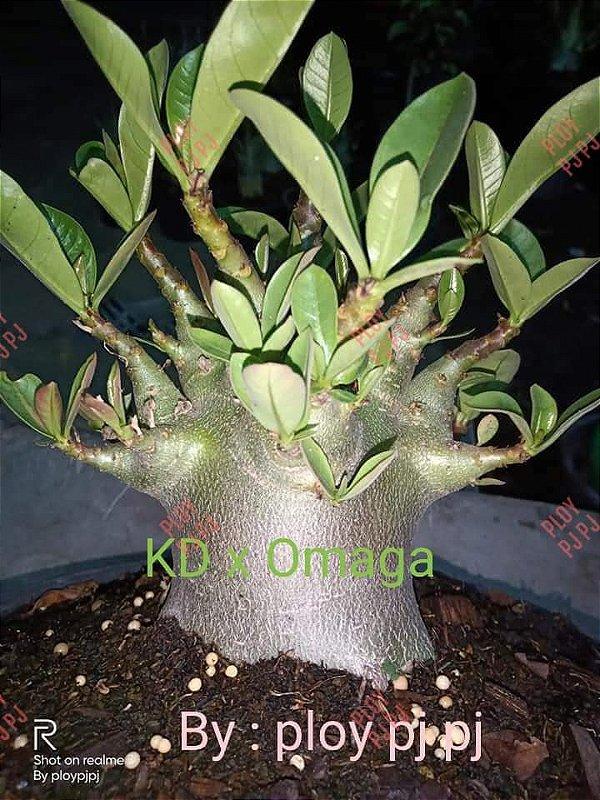 Sementes Raras - Arabicum Omaga x KD - Kit com 2 sementes