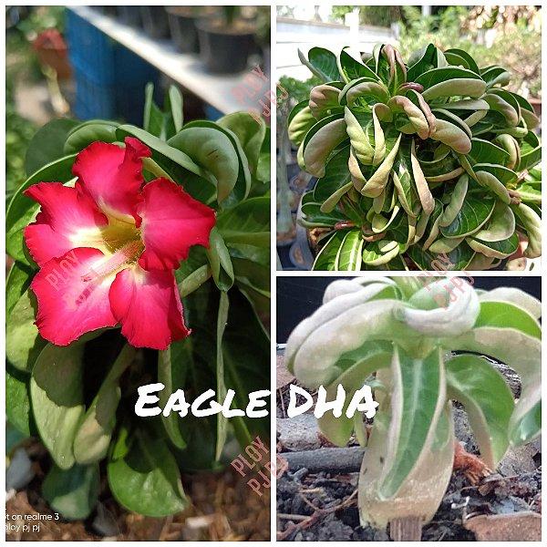 Sementes Raras - DHA Eagles - Kit com 2 sementes