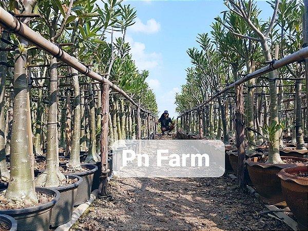 Adenium Somalense Híbrida ORIGINAL - Kit com 5 sementes - Pn Farm