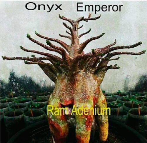 Sementes Raras - Arabicum Onyx Emperor- Kit com 2 sementes