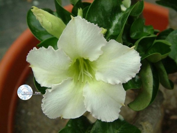 Mine Adenium - Kit com 3 sementes - White - Mr. Ko