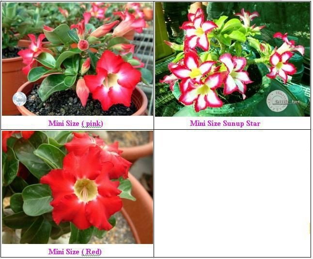 Mine Adenium - Kit com 3 sementes - Mix - Mr. Ko