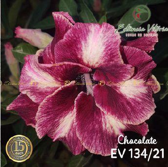 Muda Rosa do Deserto de enxerto com flor dobrada na cor matizada - EV134/21 Chocolate