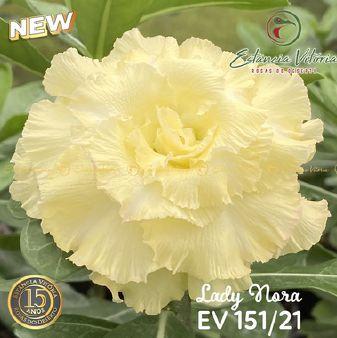 Muda Rosa do Deserto de enxerto com flor tripla na cor amarelo creme - EV151/21 Lady Nora